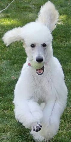 Diamond...what a happy, beautiful poodle!