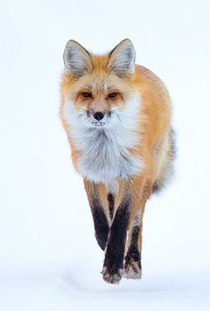 Red Fox by Max Waugh Photography*