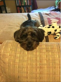 Lost Dog - Miniature Schnauzer in MIDDLE VILLAGE, NY     	 Pet Name:	Riley   (ID# 81756) Gender:	Male Breed:	Miniature Schnauzer Breed 2:	Yorkshire Terrier Color:	Black Color 2:	Silver/Grey Pet Size:	Small (10-19lbs) Pet Age:	3 Date Lost:	01/21/2015 Zip Code:	11379 (MIDDLE VILLAGE, NY) See All Lost Dogs In MIDDLE VILLAGE, NY