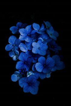 Hydrangea by Pela Schmidt Amazing Flowers, Beautiful Flowers, Exotic Flowers, Photo Bleu, Hydrangea Colors, Hydrangeas, Fleurs Diy, Tumblr Backgrounds, Blue Wallpapers