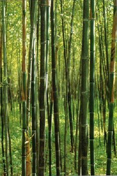 Box of three Phyllostachys Nuda Nude Sheath live . Box of three Phyllostachys Nuda Nude Sheath live Bamboo Bamboo Plants For Sale, Cheap Plants, Cool Plants, Bamboo Landscape, Bamboo Garden, Landscape Design, Bamboo Hedge, Plants Near Me, Live Plants