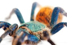 Chromatopelma cyaneopubescens, commonly called green bottle blue.  Expecting a sling.