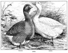 Geese Toulouse Embden Clip Art Vintage Goose by TheOldDesignShop