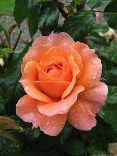 'Loretta Lynn Van Lear' Rose (Apricot or apricot blend Floribunda)
