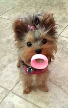 Chanel TRULY believes she's the BABY of the house! A community of Yorkshire Terrier lovers! Cute Puppies, Dogs And Puppies, Cute Dogs, Poodle Puppies, Rottweiler Puppies, Beagle, Yorkies, Pomeranians, Animals And Pets