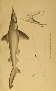 Systematische Beschreibung der Plagiostomen / - Biodiversity Heritage Library