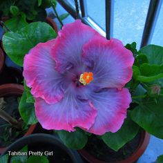 Tahitian Hibiscus - Pretty Girl