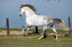 Sire:  Hippus (CFR) Dam: Cyclope (SA) Color: Grey Height: 1,66 m/ 16.1 1/2 hh D.O.B: August 26, 1997 REG.: 02436 – MN Sex: Male (Stallion approved by Stud Book with 76 points)   Richebourg Interagro's lineage includes the influences of his sire, Hippus (CFR), a son of the noble Yacht (SA) who produced at Interagro in 2005, and the exceptional qualities of one of Interagro's most important foundation mares, Cyclope (SA). It is widely believed that mares may have an even stronger infl...