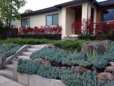 Drought tolerant planting of Kangaroo Paw 'Big Red' (Anigozanthos 'Big Red') and Blue Chalk Sticks (Senecio mandraliscae).