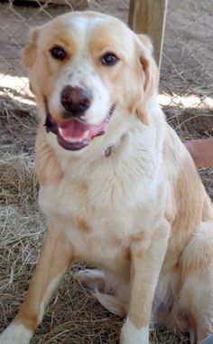 Meet Andy - beautiful and sweet!!!, a Petfinder adoptable Golden Retriever Dog | Falls Church, VA | Please make contact here            SCBOB1254@GMAIL.COMContact your coordinator at         ...