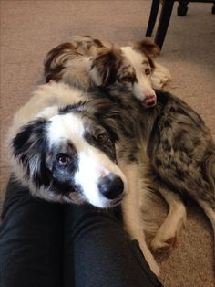 Blue and red merle border collies - tilt and bolt