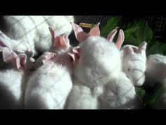 Raising New Zealand White Meat Rabbits From Start to Finish 4 Weeks Old