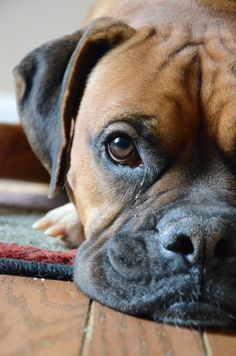 Pinner stated: Looks just like my dog, except her nails are black. I love her and her sister so much. #BoxerDog