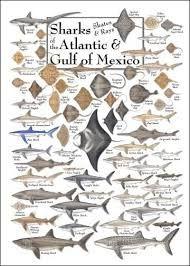 Resultado de imagem para types of sharks