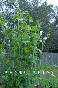sugar snap peas - so yummy and easy to grow in your backyard. check out a new way to garden at www.raisedurbangardens.com