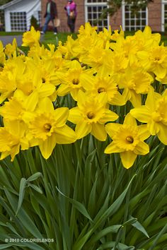 Daffodil Gigantic Star.  A big, tall daffodil to plant in the back of the bed.  Plant in Fall for beautiful Spring color!