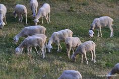 A la manera Iniesta: Ovejitas rurales, ovejitas urbanas