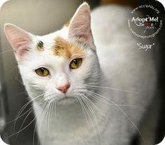 Domestic Shorthair Cat for adoption in Philadelphia, Pennsylvania - Sugar (foster care)