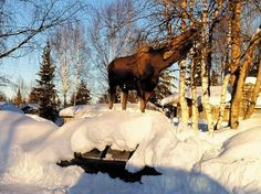 Cleaver Alaskan Moose using his resources to get food..... yep thats a car hood!!!