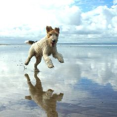 Original Style's mascot Austin the Wire Fox Terrier loves the beach! Perro Fox Terrier, Wirehaired Fox Terrier, Wire Fox Terrier, Fox Terriers, Terrier Dogs, Baby Dogs, Dogs And Puppies, Happy Animals, Cute Animals