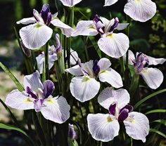 "Japanese iris - - Iris ensata ""Fortune"" - - Learn how to create a garden with Iris blooms all season long at http://gardendesignforliving.com/?p=1150"