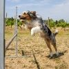 Agility Training for Australian Shepherds - PetCareRX