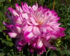 Who Dun It   White/dark pink.  Gorgeous in a bouquet. A color blend that really shines. Great flower for the garden. 4' Purple Dahlia, Color Blending, Cut Flowers, Wedding Bells, Planting Flowers, Bouquet, Dark, Garden, Plants