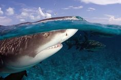 Lemon Shark, Negaprion brevirostris, in the Bahamas. It is known as the lemon shark because, at certain depths, light interacting with the local seawater can give this shark a tanned yellow color. Photo by Willy Volk