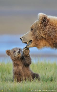 Brown Bear Animals facts Animals Brown bear myths or brown bear facts? They are amazing creatures. Bears don't actually hibernate and can walk up to in a day. Baby Animals Super Cute, Cute Little Animals, Cute Funny Animals, Mother And Baby Animals, Baby Animals Pictures, Cute Animal Pictures, Random Pictures, Funny Bear Pictures, Photos Of Animals