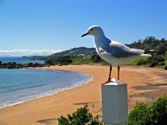 Hello, Sometimes if you pick the right time of day you can have the beach to yourself in Tasmania with some birds as companions. Penguin Beach is one of these beaches. Time Of Day, Right Time, Tasmania, North West, West Coast, Penguins, Beaches, Birds, Animals