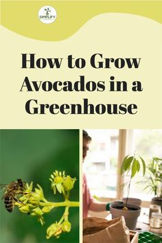 growing avocados is easy if you know how. So in this article I show you hot to grow avocados in a greenhouse. Its the sure fire way to get great results. #gardening #gardenersofinstagram #gardens #gardenlife #bloom Avocado Varieties, Avocado Types, Avocado Plant, Avocado Seed, Raised Bed, Raised Garden Beds, Vegetable Garden Soil, Organic Soil, How To Grow Taller