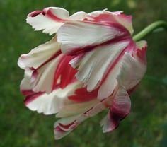 Dramatic tulip @Elaine Nasser