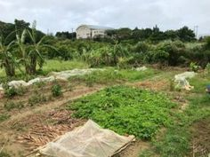 The Farm is Swampy, but Survived! Wind And Rain, Okinawa, Pretty Good, Farming, Harvest, Survival, Veggies, Tropical, Country Roads