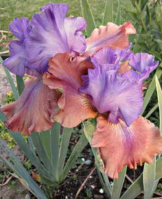 TB Iris germanica 'Sottobosco' (Bianco, 2008)