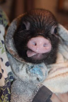 pet pig house -- Click visit link above for more info Funny Pigs, Cute Funny Dogs, Cute Funny Animals, Pet Pigs, Baby Pigs, Cute Piglets, Small Pigs, Teacup Pigs, Mini Pigs