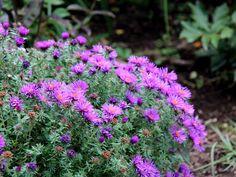【2015年9月下旬撮影】 宿根アスターがお庭を明るく演出!小さなお花が株いっぱいに咲いて、とても可愛いです。