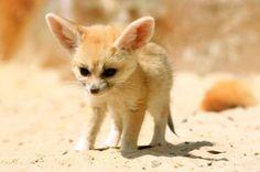 baby fennec fox. stupid cute.