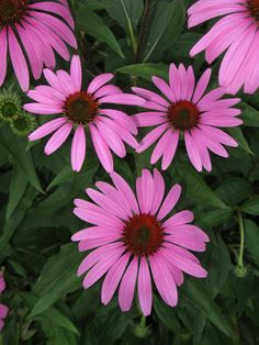 Echinacea, a must have perennial