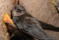 Species of birds use echolocation – A Selection of Pins about Animals Bat Images, Animal Facts, Pitch Perfect, Bird Species, Life Cycles, Halloween Kids, Rock Art, Pet Birds
