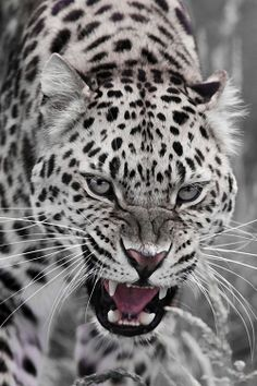 angry big cat ...........click here to find out more http://guy.googydog.com