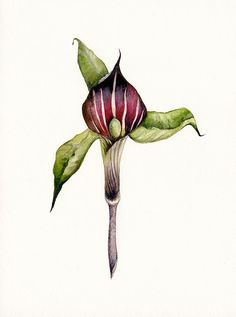 Jack in the Pulpit  Botanical archival Art print by amberalexander, $20.00