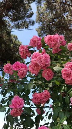Rosas simplesmente Rosas flowers Roses in Rome's Rose Garden Beautiful Rose Flowers, Flowers Nature, Amazing Flowers, Purple Flowers, Beautiful Gardens, Beautiful Flowers, Flowers Gif, Pink Roses, Clematis