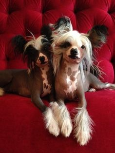 Extreme Chinese Crested Puppies for Sale