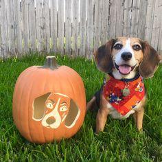 Aston Martin beagle and his pumpkin doppelgänger