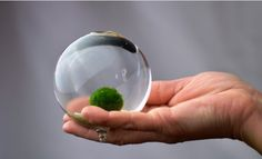 MARIMO...Amazingly cute sea moss..it's said to be suitable for office space, needs not much care, yet I guess it's vulnerable to hot and partial to clean water, not easy ones.