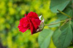 rose ~ - rose ~
