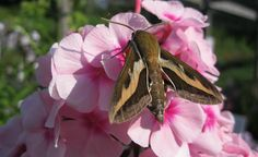 White-lined Sphinx Moth, also known as Hummingbird Moth, is a Phlox pollinator.