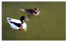 Ducks together..