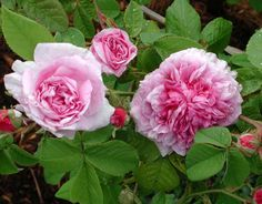 Marie Louise (Palatine Roses)