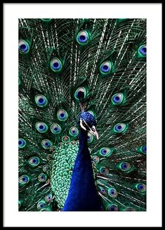Peacock feather - 50x70Peacock - 50x70...